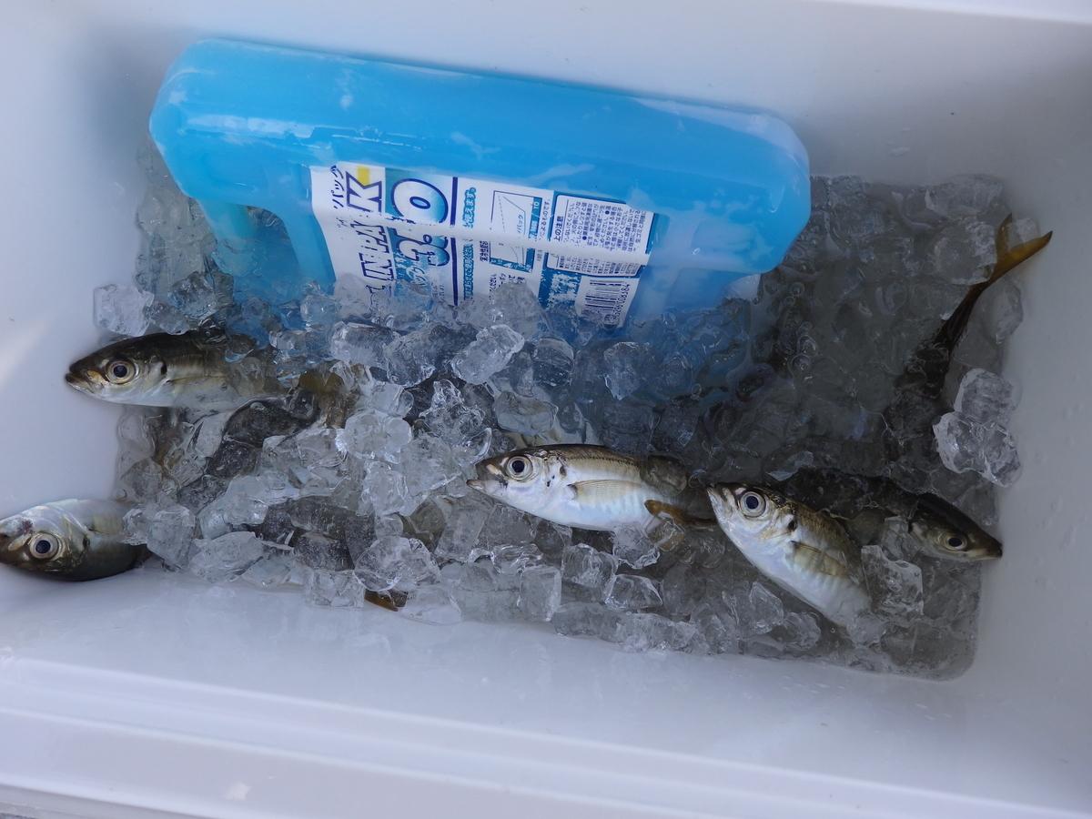 釣ったアジを氷締めにした写真