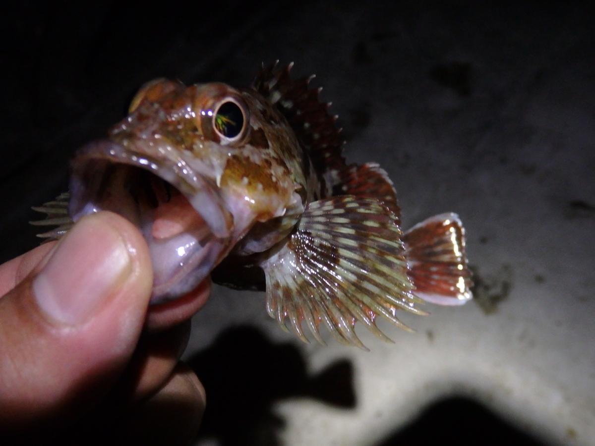 夜釣りで釣れたカサゴの写真