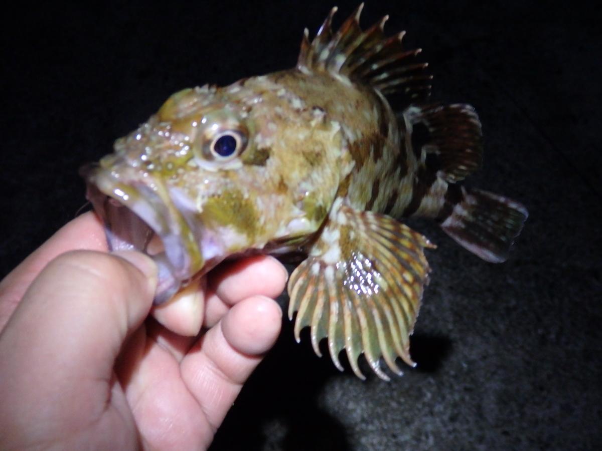探り釣りで釣れたカサゴの写真