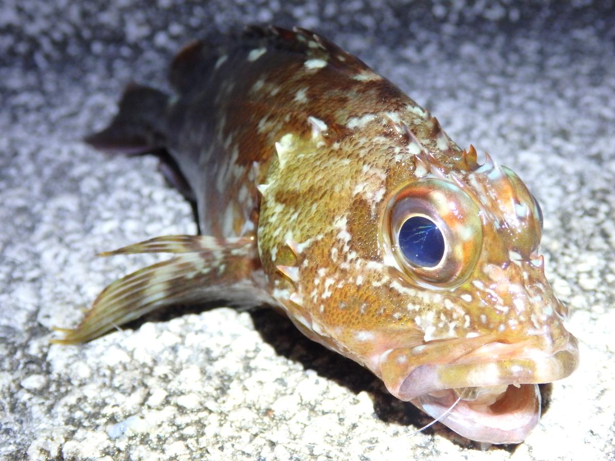 探り釣りで釣り上げたカサゴの写真