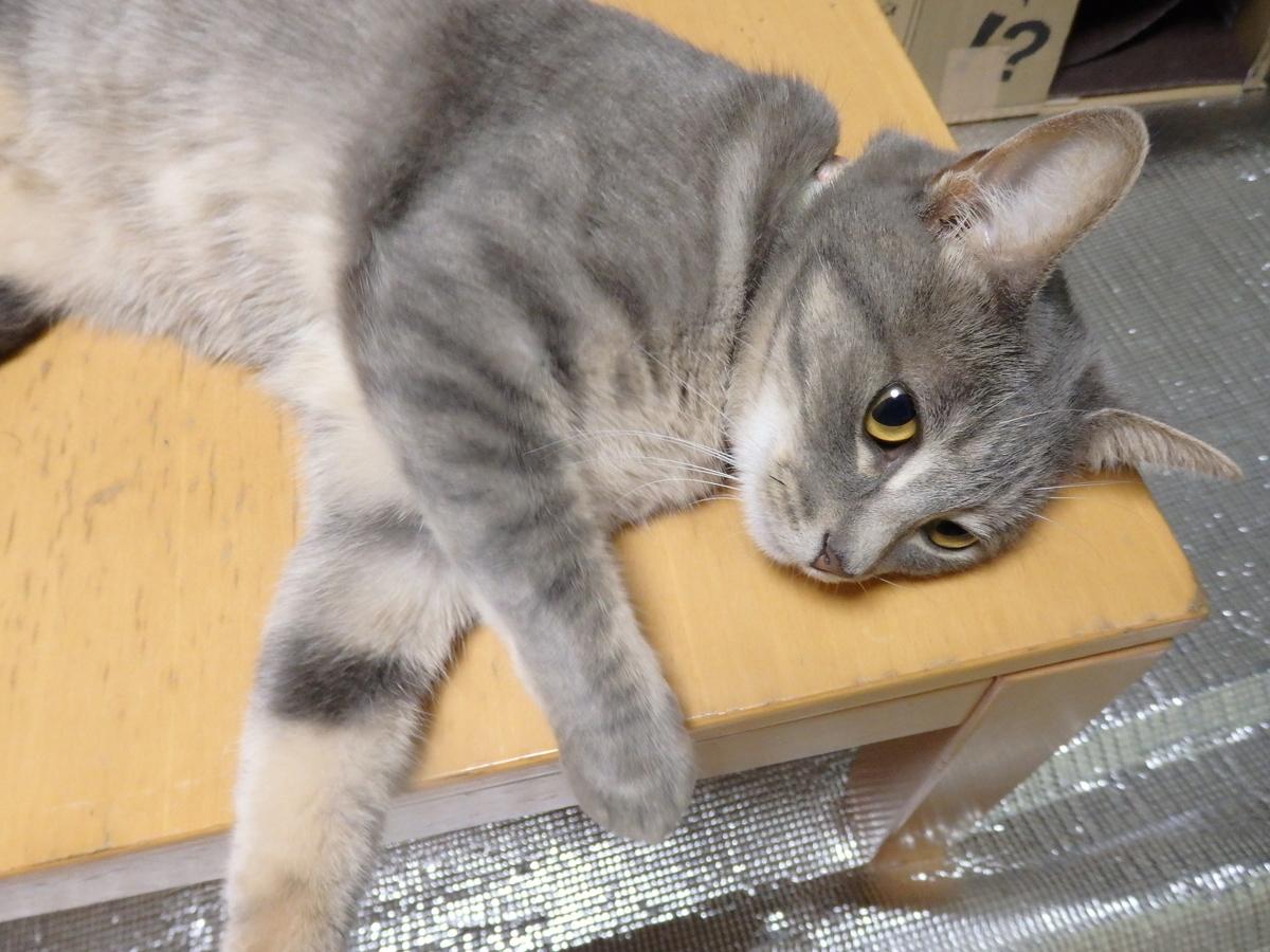 タチウオを食べたいネコの写真