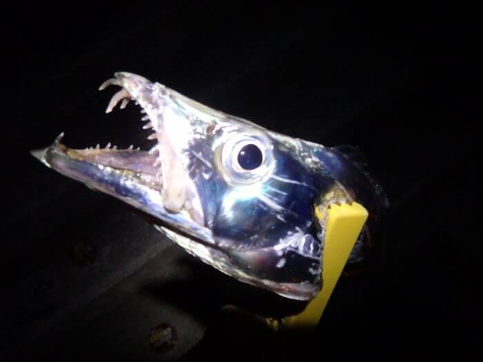 ネンブツダイをエサにして釣れたタチウオの写真