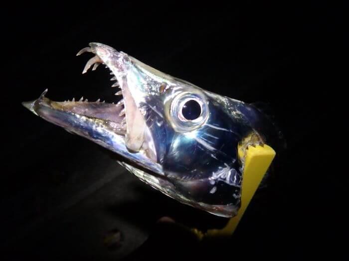 ケミカルライトを付けた仕掛けで釣れたタチウオの写真