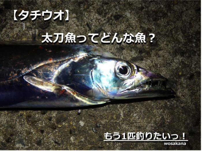 銀色に輝く太刀魚(タチウオ)の写真