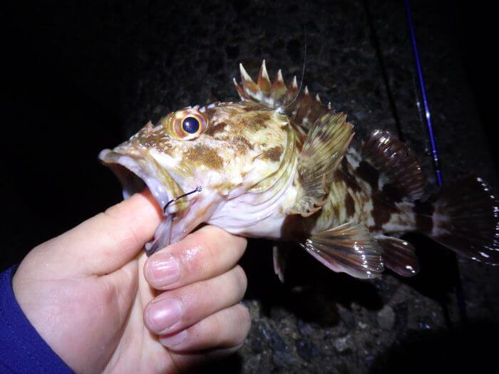 冬の夜釣りで釣れたカサゴの写真
