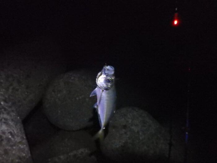 夜釣りで釣れた中アジの写真