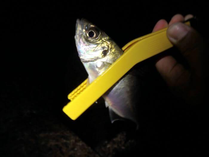ウキ釣りで釣れた中アジの写真