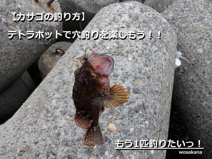 穴釣りで釣れたカサゴの写真