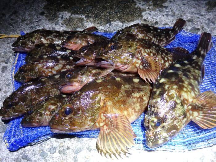 サンマの切り身(干物)で釣れたカサゴの写真