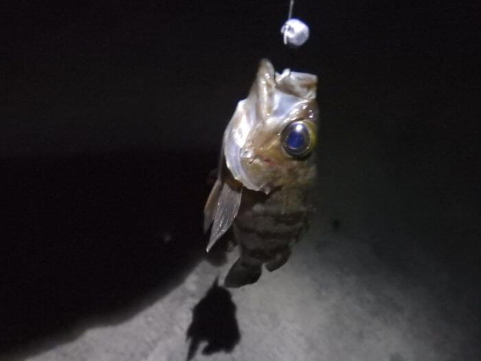 虫ヘッドで釣れたメバルの写真