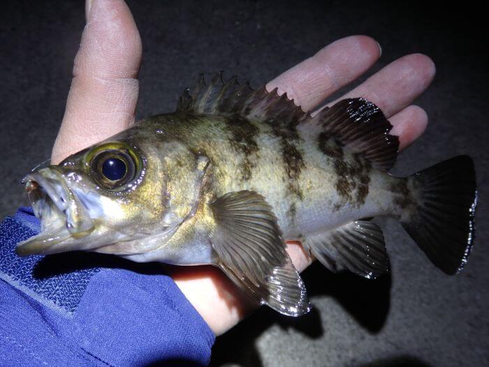 ウキ釣りで釣れたメバルの写真