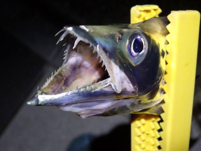 遊動式ウキ仕掛けで釣れたタチウオの写真