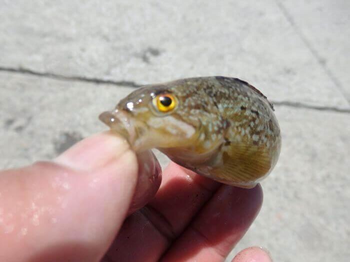 堤防際の探り釣りで釣れたアブシンの写真