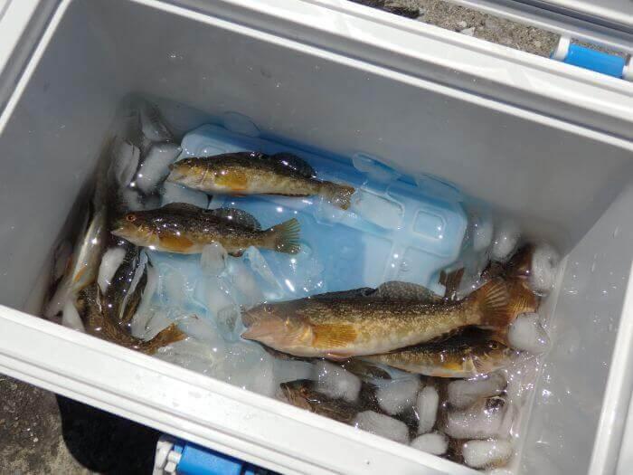 釣れたアブシンを氷締めにしている写真