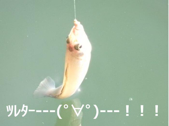 ウルトラライトちょい投げ釣りで釣れたキスの写真