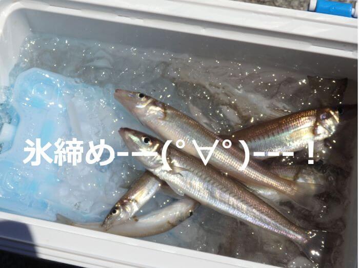 ウルトラライトちょい投げ釣りで釣れたキスを氷締めにしている写真