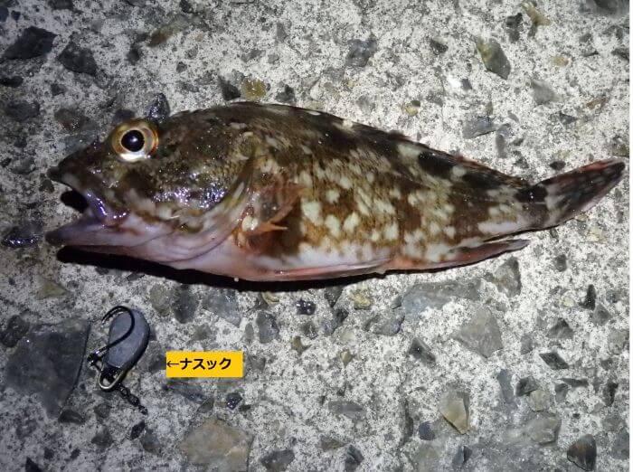 自作したナスックで釣れたカサゴの写真