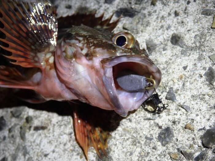 オモックて釣れたカサゴの写真