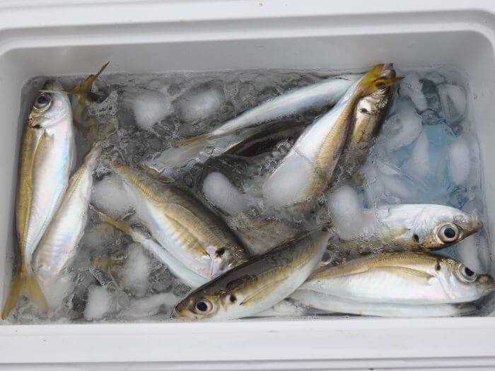 サビキ釣りで釣れた小アジを小型クーラーボックスに入れた写真