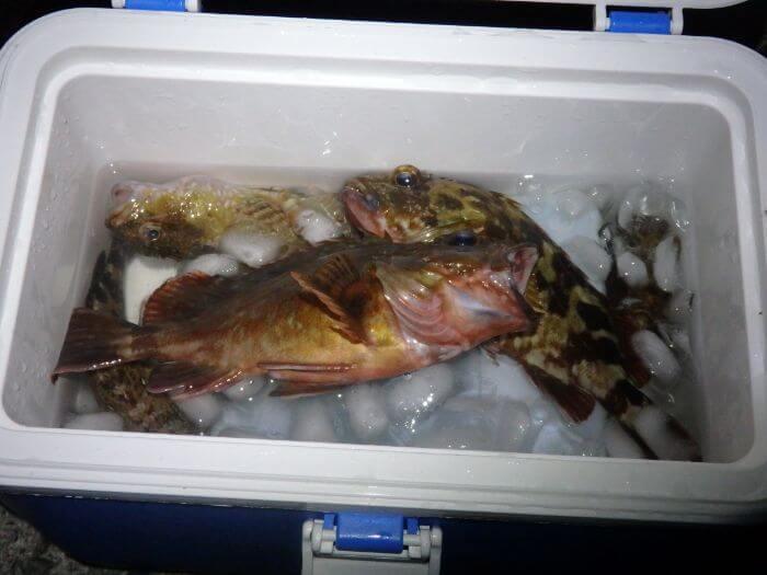 探り釣りで釣れたカサゴをクーラーボックスに入れている写真