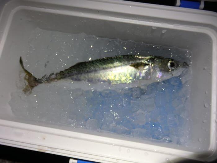 ウキ釣りで釣れたサバをクーラーボックスに入れた写真