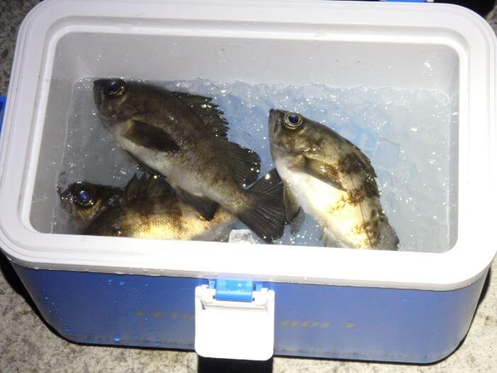 ウキ釣りで釣れたメバルをクーラーボックスに入れている写真