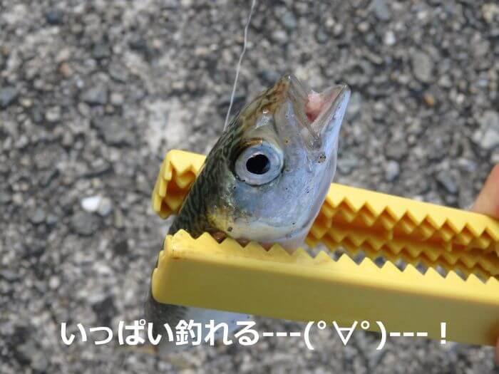 サビキ釣りで釣れたサバの写真