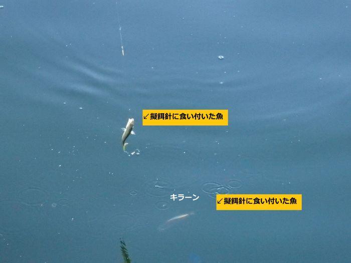 サビキ仕掛けの擬餌針に魚が食い付いた写真