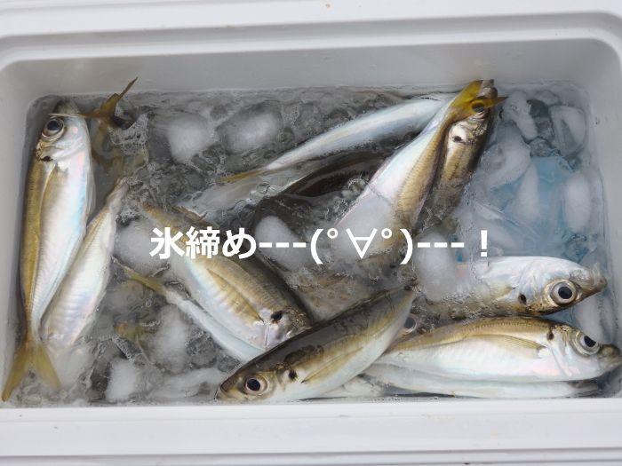 サビキ釣りで釣れたアジを氷締めにしている写真