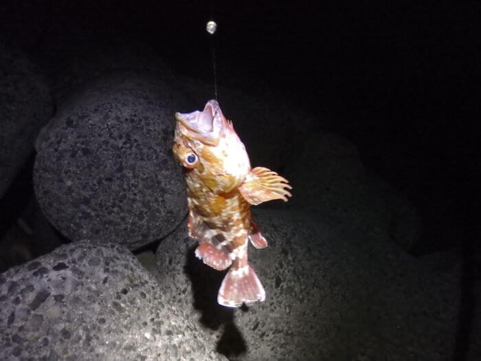 ガン玉仕掛けで釣れたカサゴの写真