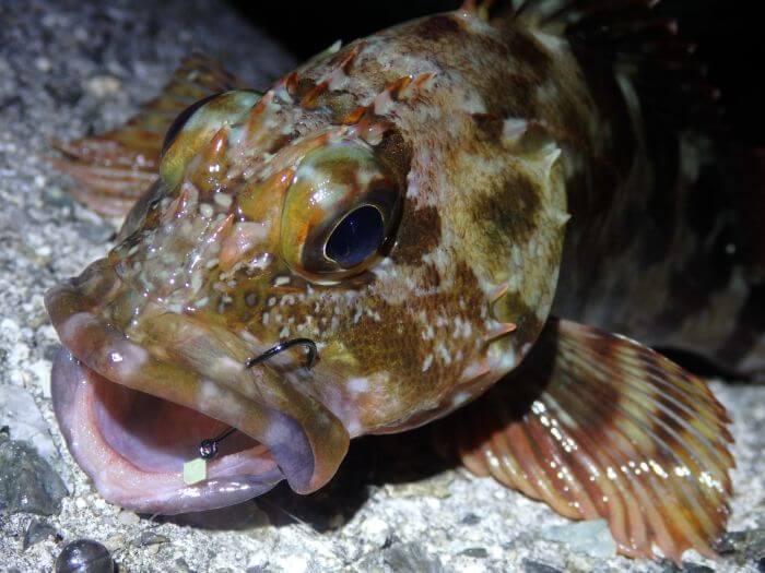 ライトタックルで釣れたカサゴの写真