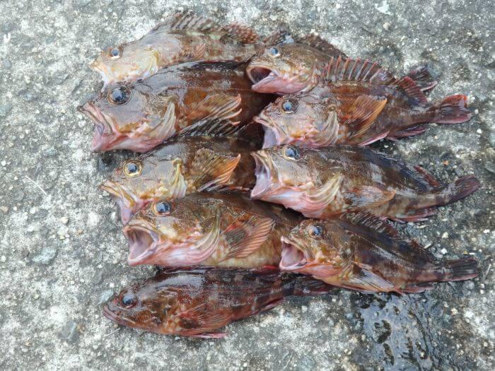 テトラを攻略して釣れたカサゴの写真