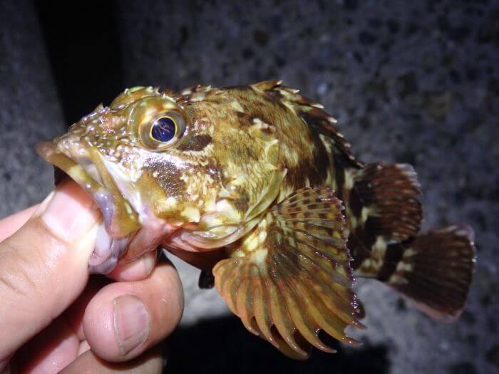 真冬の夜釣りで釣れたカサゴの写真