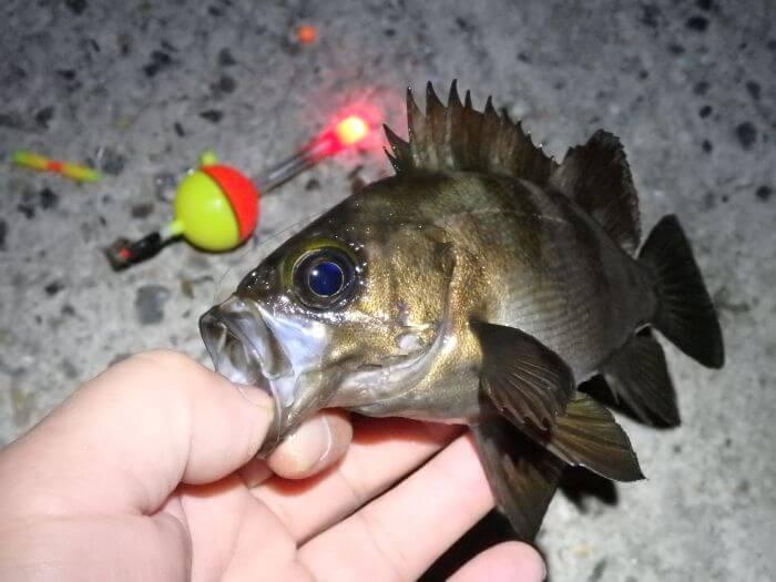 自作した電気ウキで釣れたメバルの写真