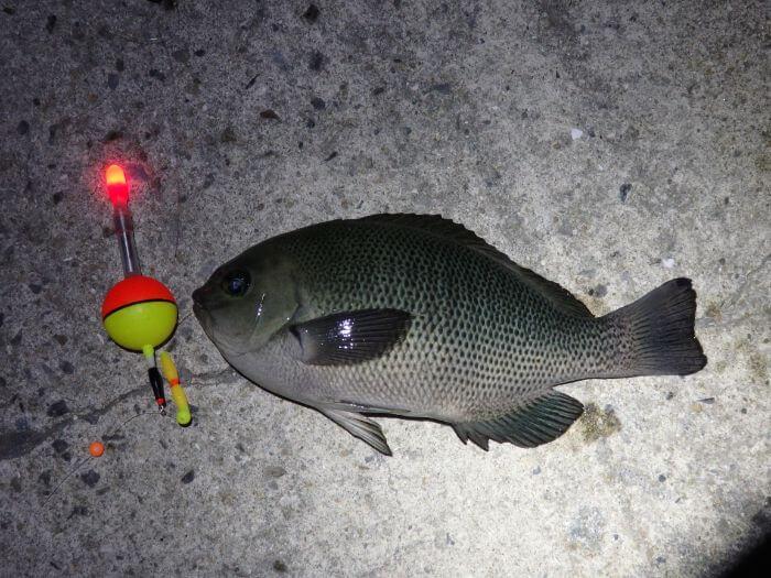 自作した電気ウキで釣れたコッパグレの写真