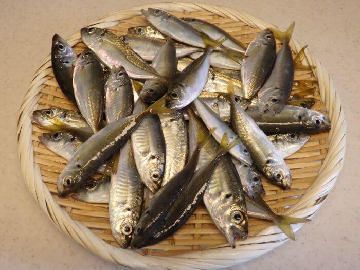 サビキ釣りで釣れた豆アジの写真