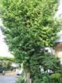 八幡神社の東郷平八郎お手植えの銀杏