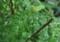 アゲハちゃんの幼虫