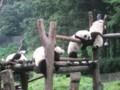 西安パンダ見学