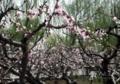 西安の万畆(約 6.67アール)桃園