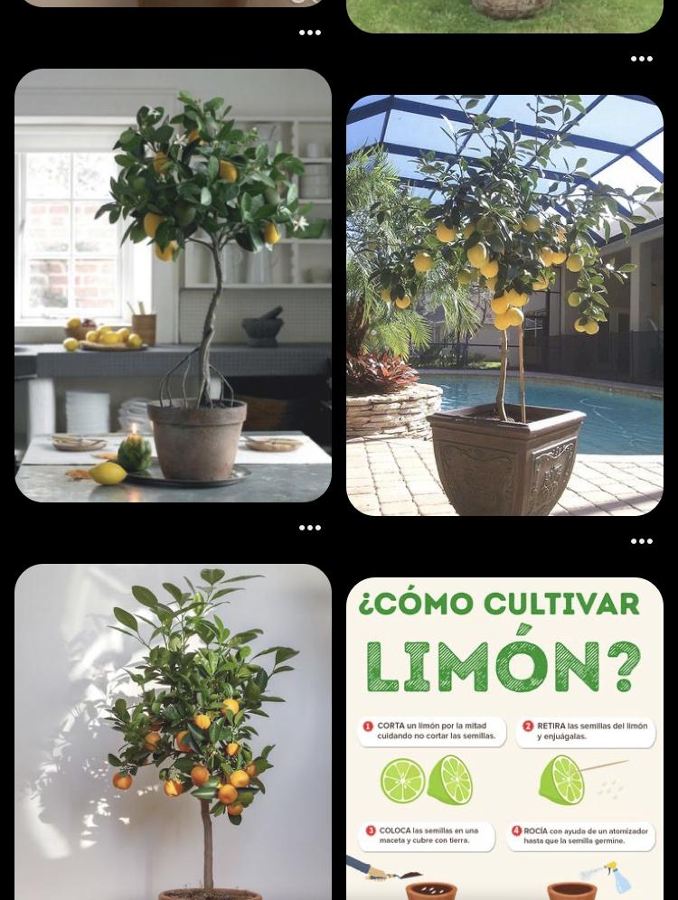 お洒落なレモンの木