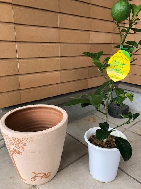 レモンの木 ふるさと納税返礼品