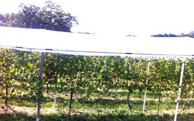 丹波ワインハウスのぶどう畑