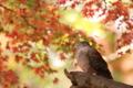 『京都新聞写真コンテスト 紅葉鳩』
