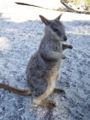 [生物]Mareeba Rock Wallaby