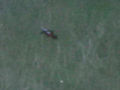 [生物]カモノハシ