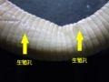 ヤツワクガビルの生殖孔