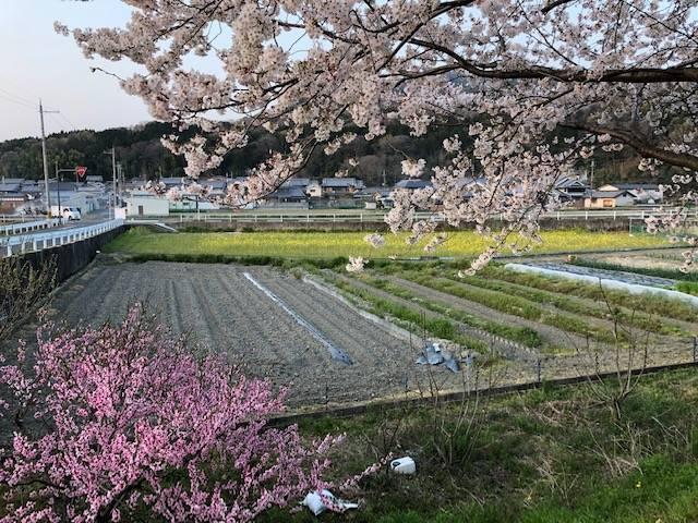 金屋河川敷公園桜