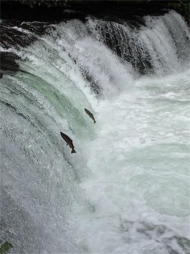 2015年、さくらの滝です。サクラマスが登っています。