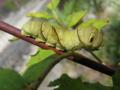 ナミアゲハの幼虫 ぷにぷにしててかわいい。 一昨年の夏。